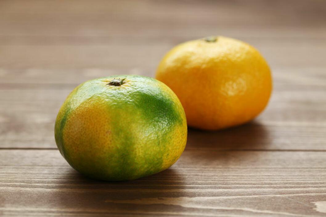 Satsuman är ljusare, ibland lite grön, och syrligare än clementinen.
