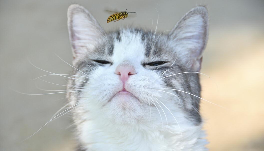 Katter är inte förtjusta i getingar som ibland kan ge ett ett stick