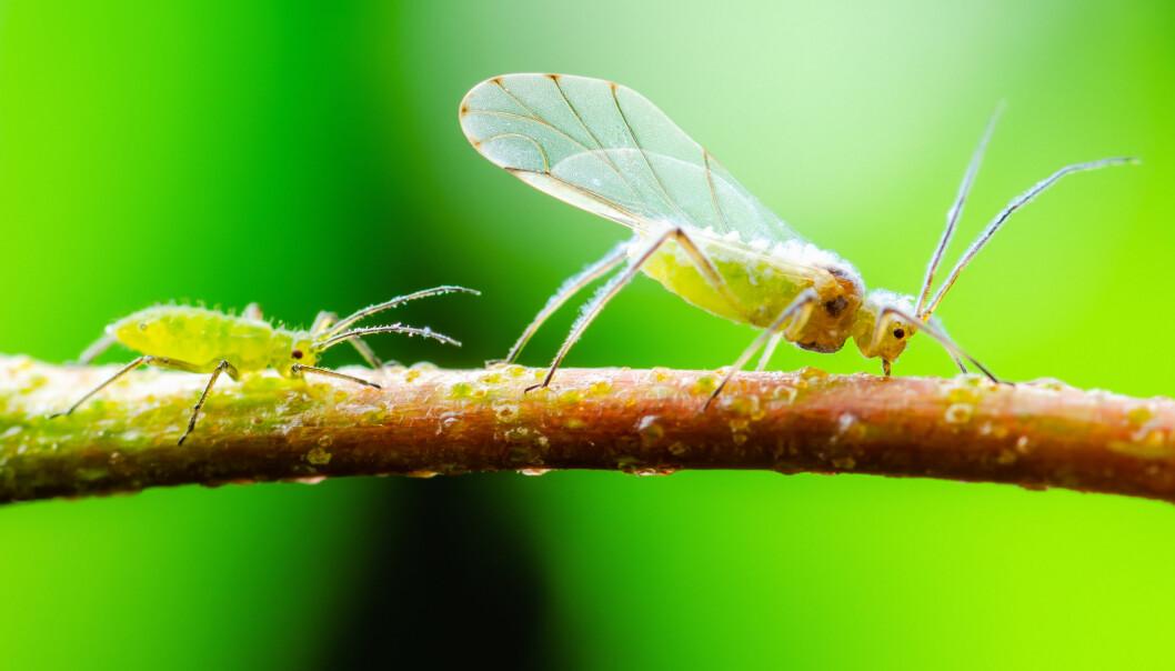 En bladlus med vingar och en bladlus utan vingar.