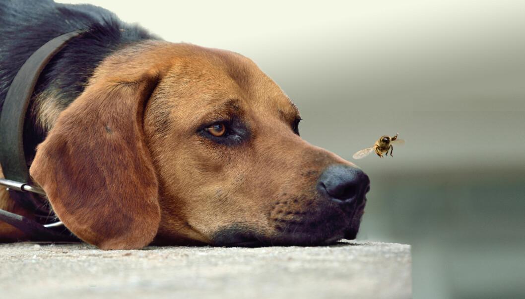 Liggande hund tittar på en geting