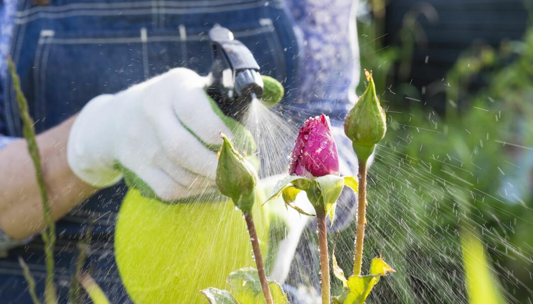 En kvinna sprutar vatten på en ros i trädgården.