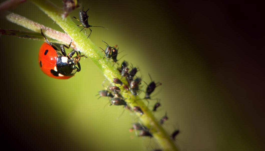 En nyckelpiga äter bladlöss på en växt.