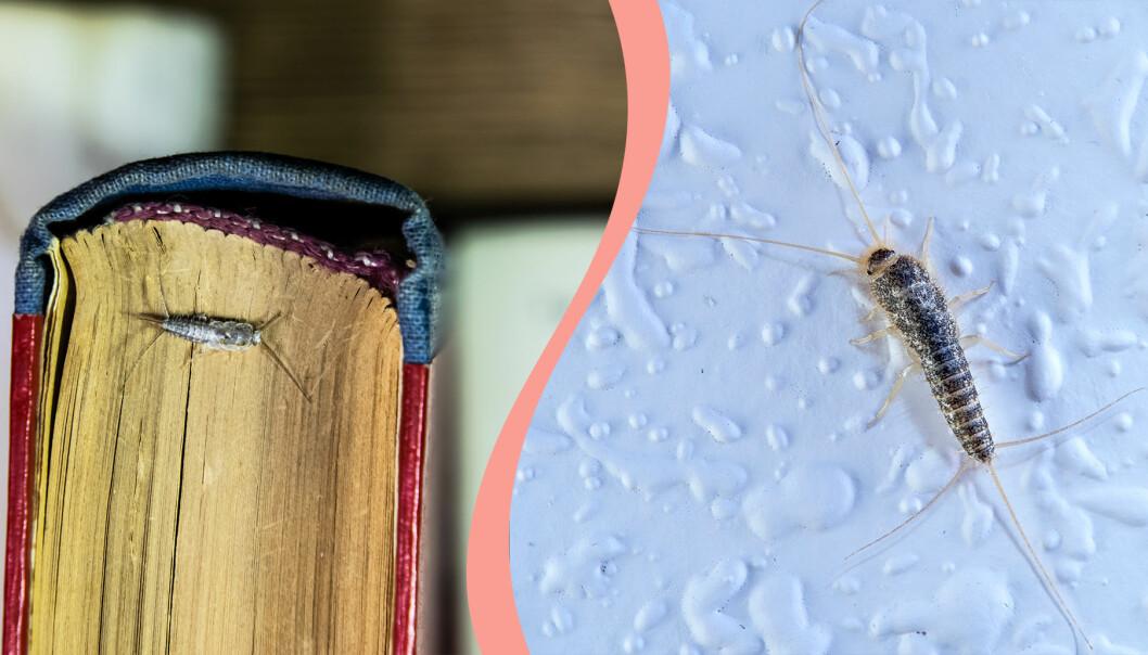 Till vänster, silverfisk på en bok, till höger en klättrande silverfisk.