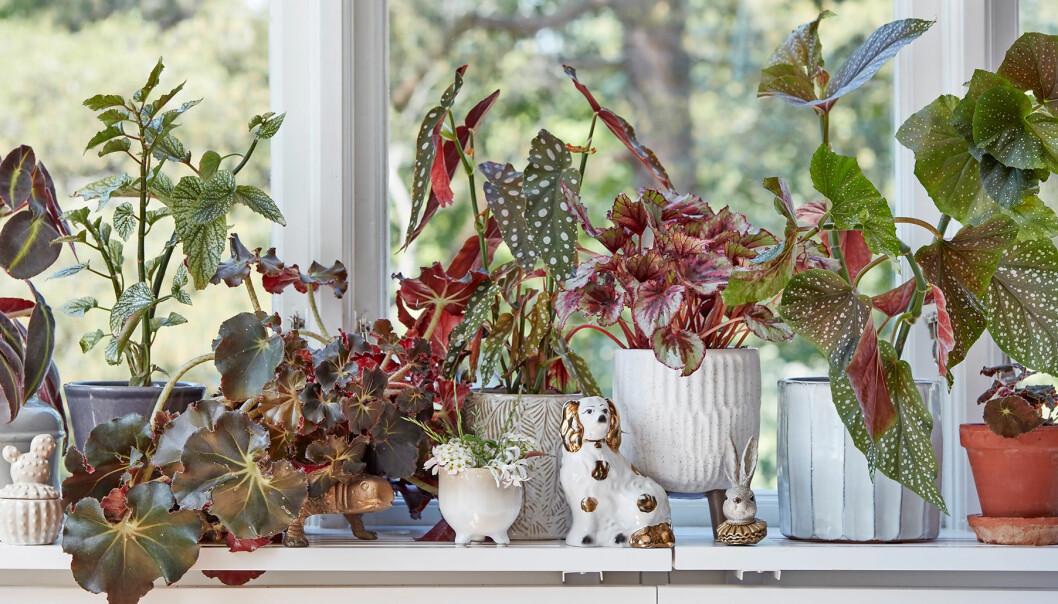 Olika sorters begonior i ett fönster