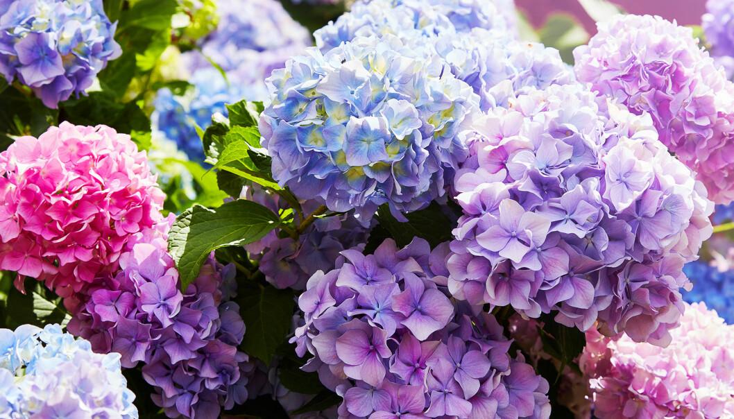 Hortensia i blå, lila och rosa toner