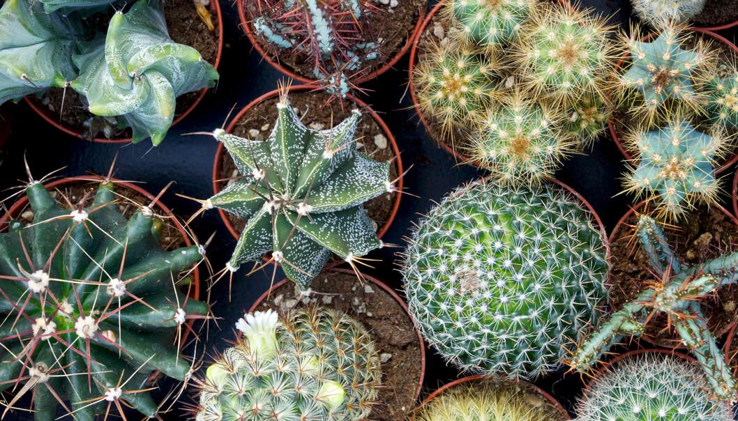 Olika typer av kaktusar på ett bord