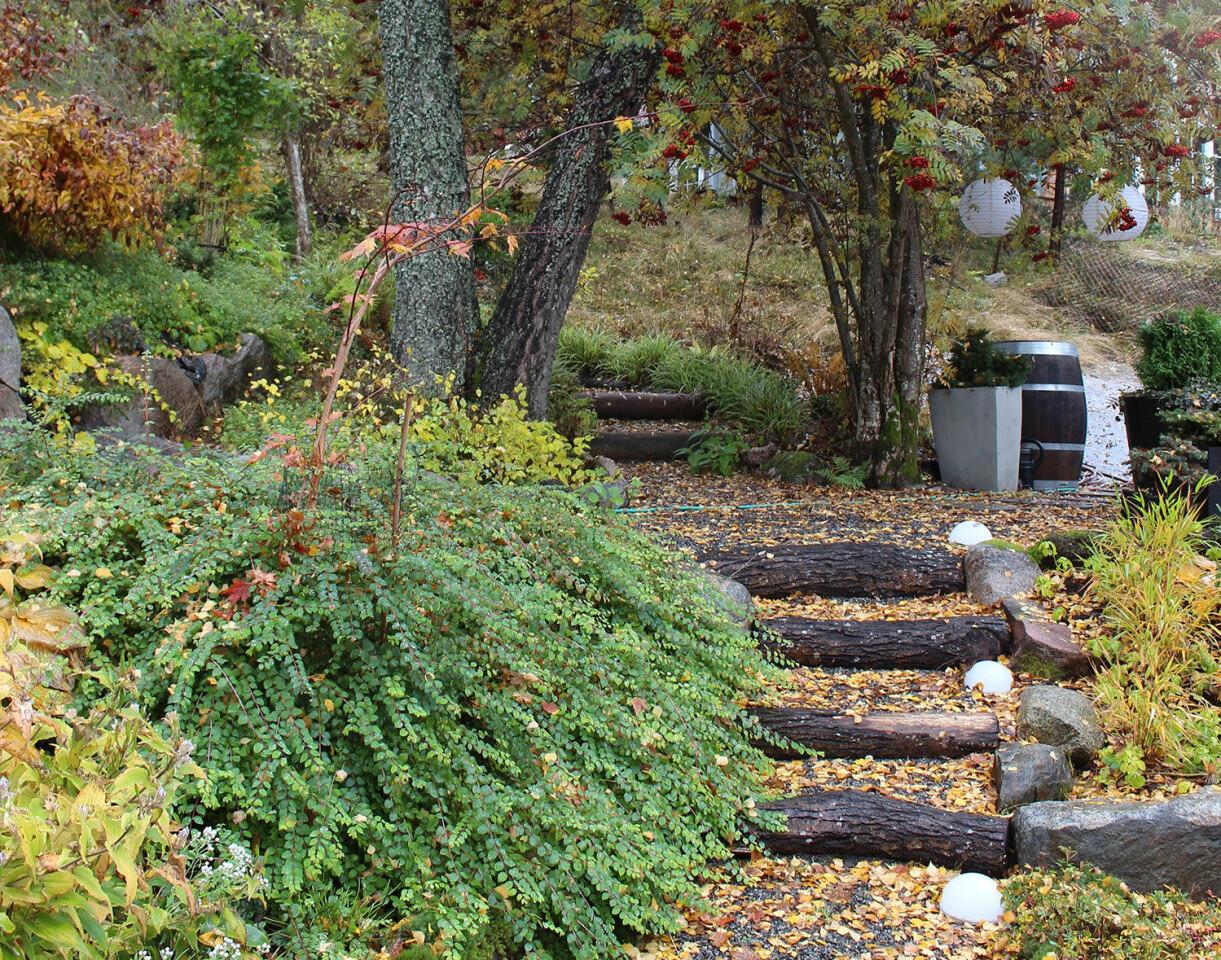 Snöbäret 'Hancock' och en trappa i Årets trädgård 2020.