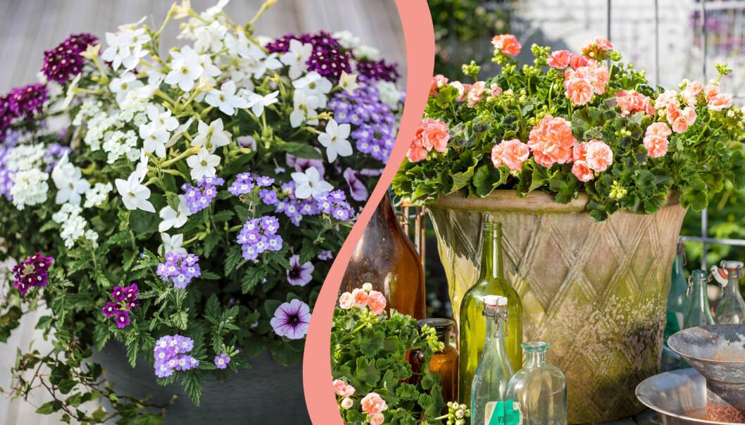 Delad bild på sommarkrukor på uteplats och balkong. Till vänster: Petunia 'Lavender Sky'. Till höger: Årets pelargon 2021, 'Astrid'.