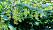 Den amerikanska strimlönnen får avlånga klasar av näsor.