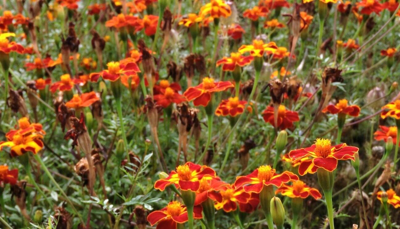 Tagetes 'Burning Embers' blommar i en rabatt.