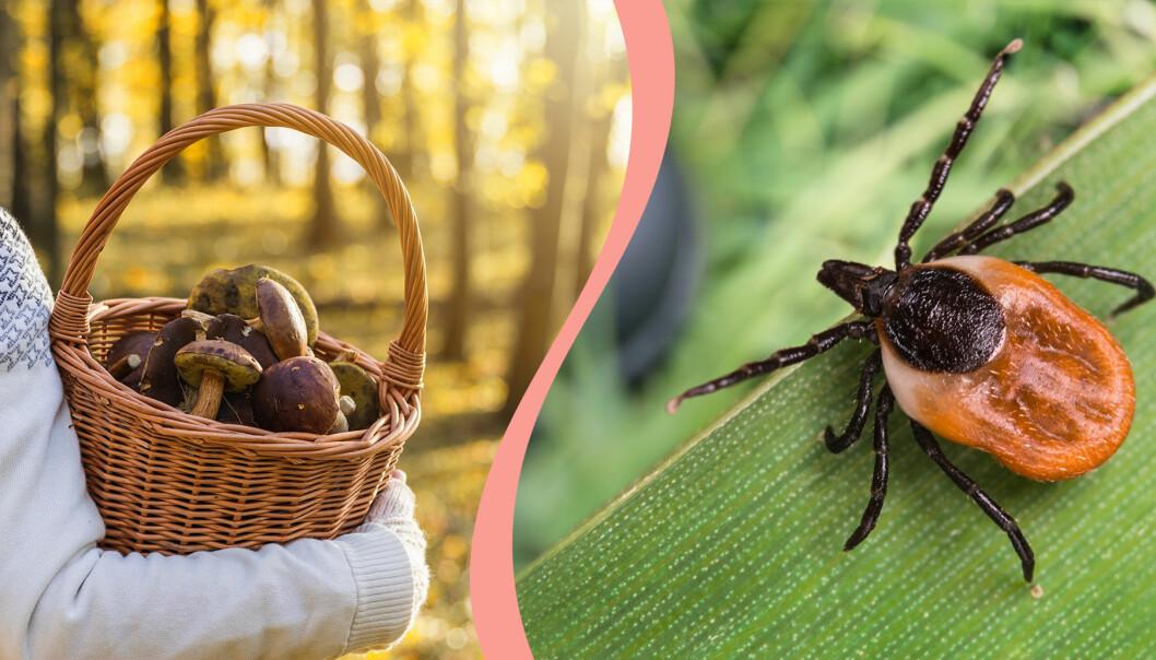 Till vänster, en korg full med svamp, till höger en fästing.
