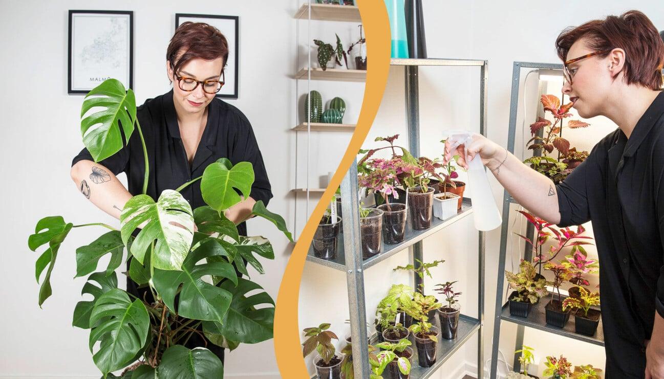 Till vänster: Sofia Andersson sköter om sin Monstera variegata med vita detaljer i bladen. Till höger: Sofia Andersson sprayar sina palettblad med vatten.