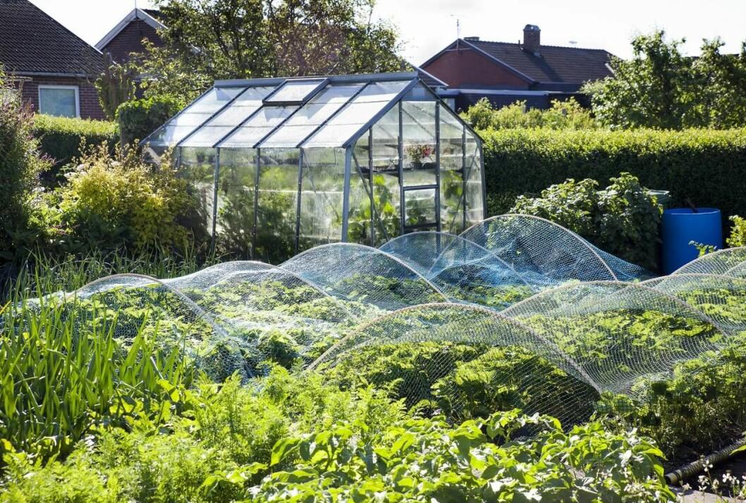 Växthus med jordgubbar