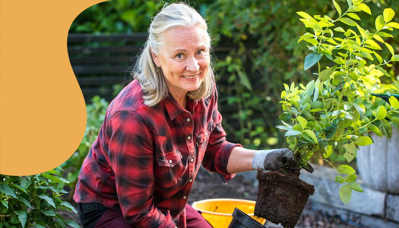 Trädgårdsexperten Anni Jähde planterar en blåbärsplanta och berättar för dig hur du ska gå till väga för att lyckas med bärbuskar.