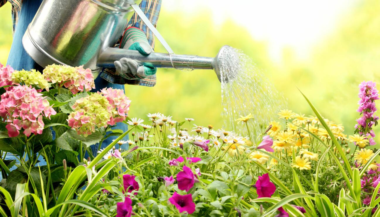 En kvinna vattnar med en vattenkanna under sommaren. Detta sparar vatten.