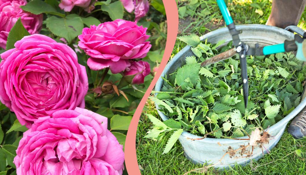 Delad bild. Till vänster: Blommande rosor. Till höger: Nässlor som ska bli näringsvatten i maj och juni.