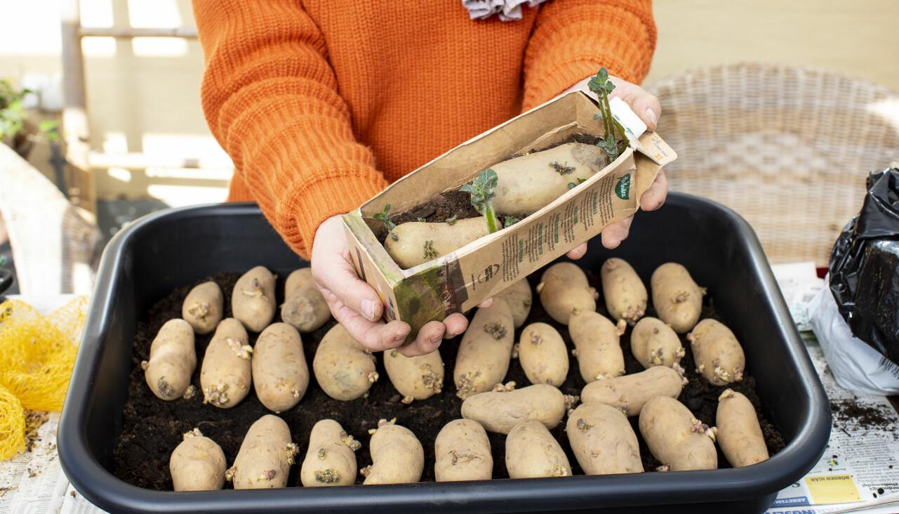 Trädgrådsexperten förodlar potatis i både mjölkpaket och större tråg.