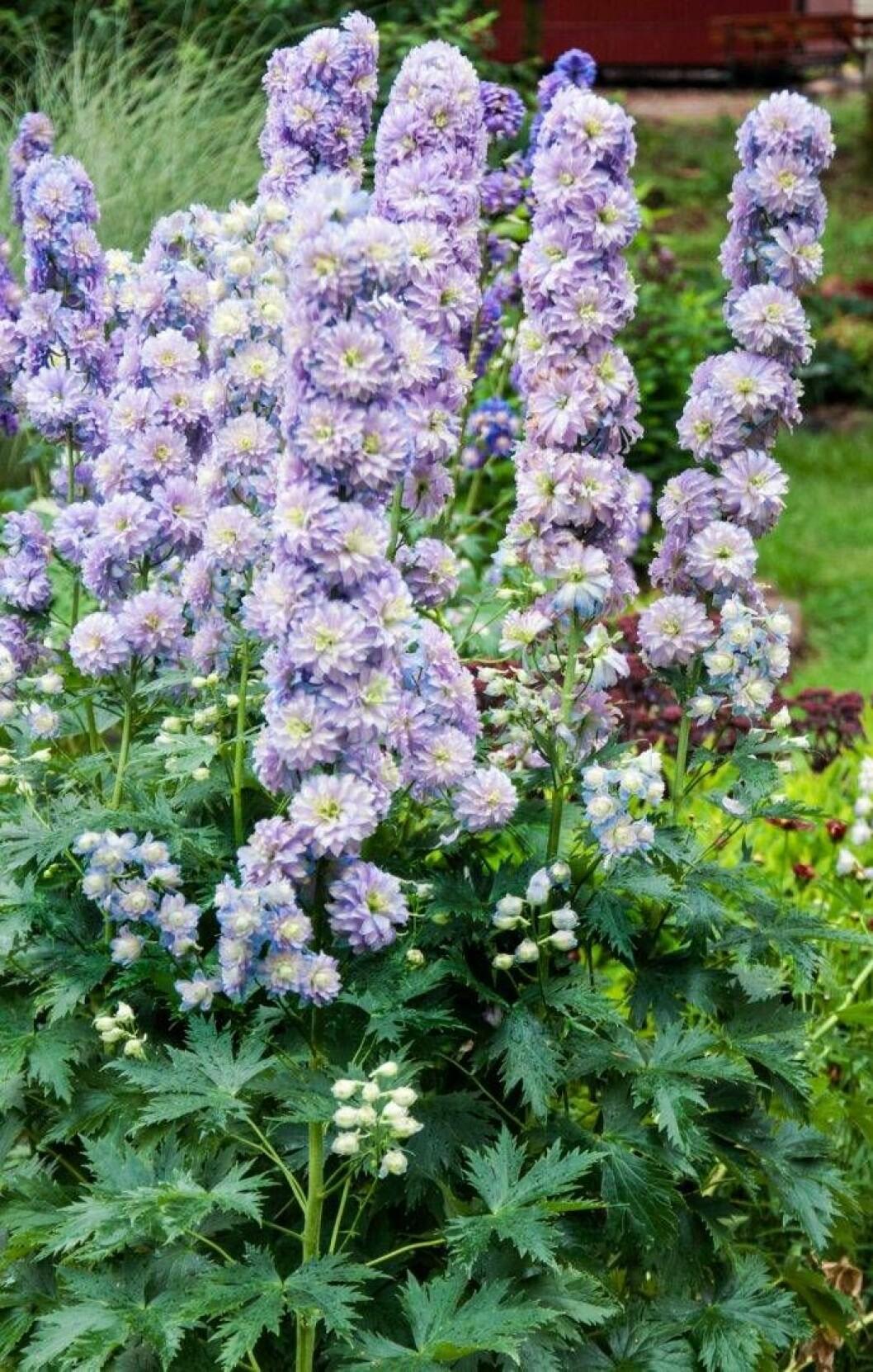 Trädgårdsriddarsporren Delphinium