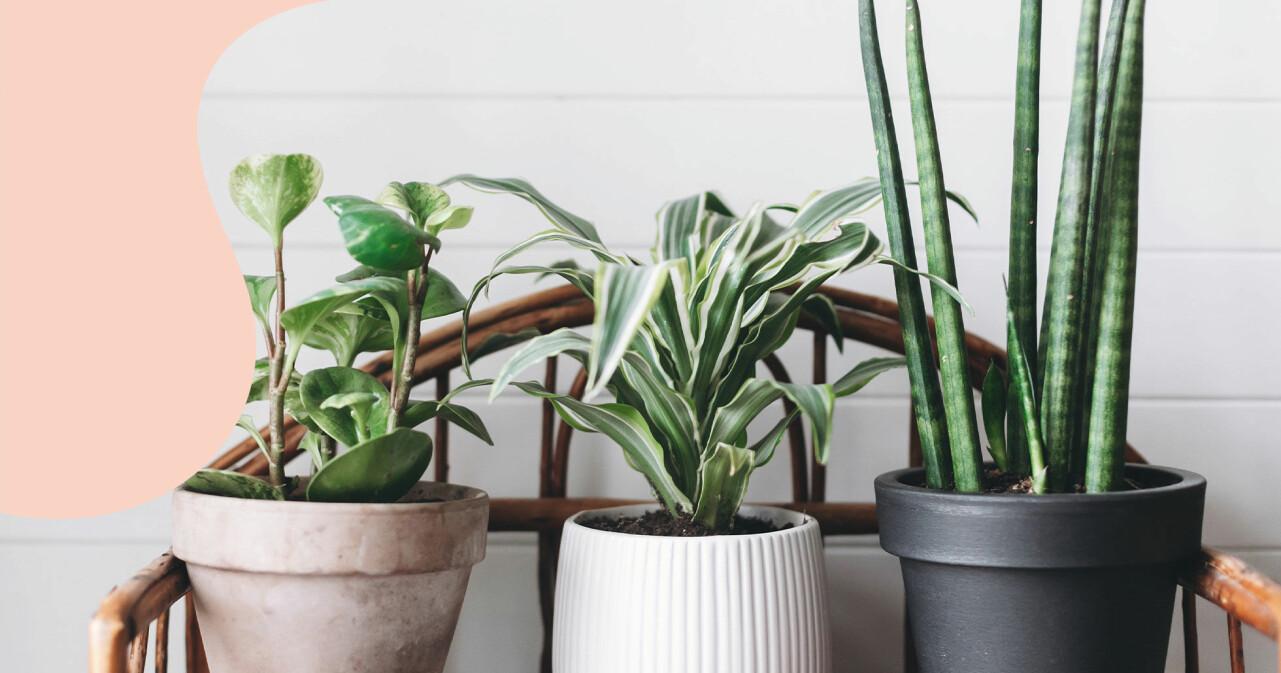 Tre krukväxter på rad.