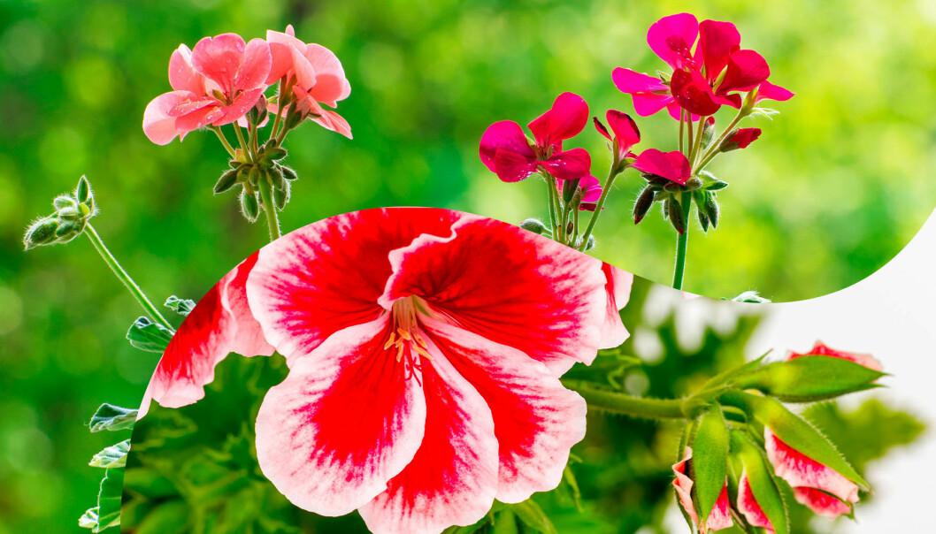 Tre olika sorters pelargoner som blommar vackert på sommaren. På vintern ska de helst övervintras svalt och mörkt.