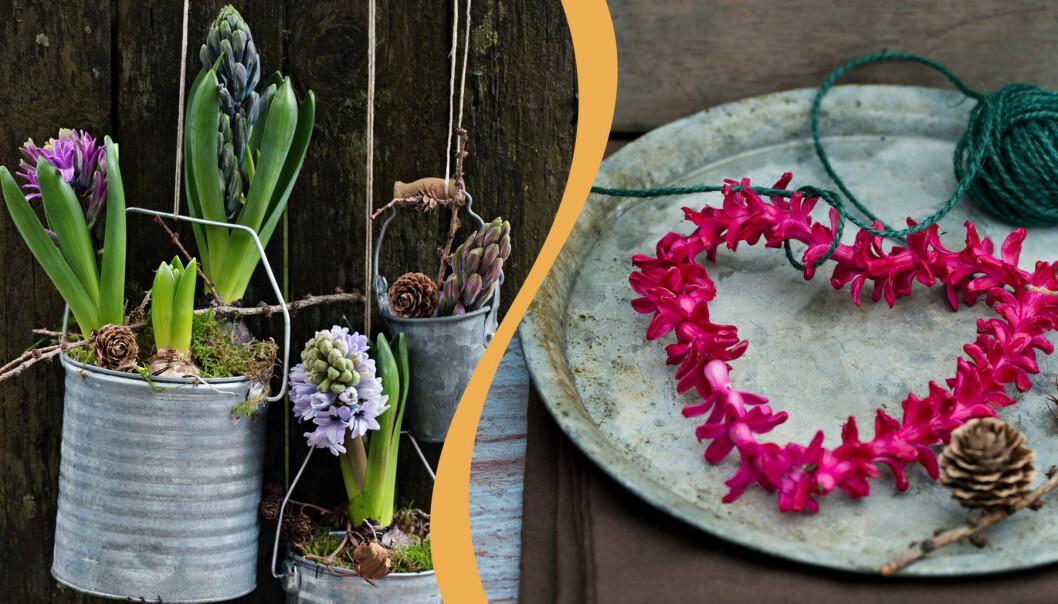 Två fina arrangemang med hyacinter.