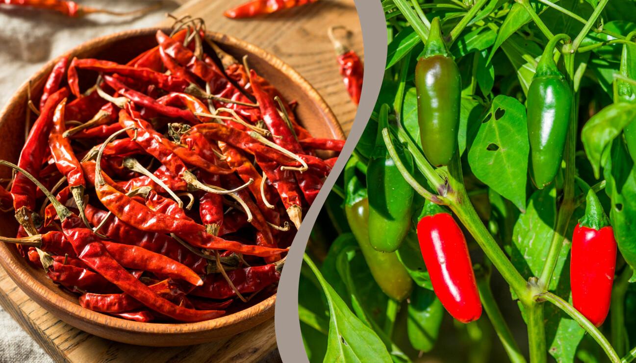 Två olika chilisorter som är roliga att odla hemma. Till vänster: Chile de Árbol, torkad. Till höger: Jalapeñopeppar på busken, både röda och gröna.