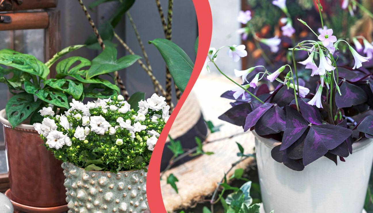 Två olika förslag på hur du kan kombinera blommande växter med gröna blad i fönsterkarmen på våren.
