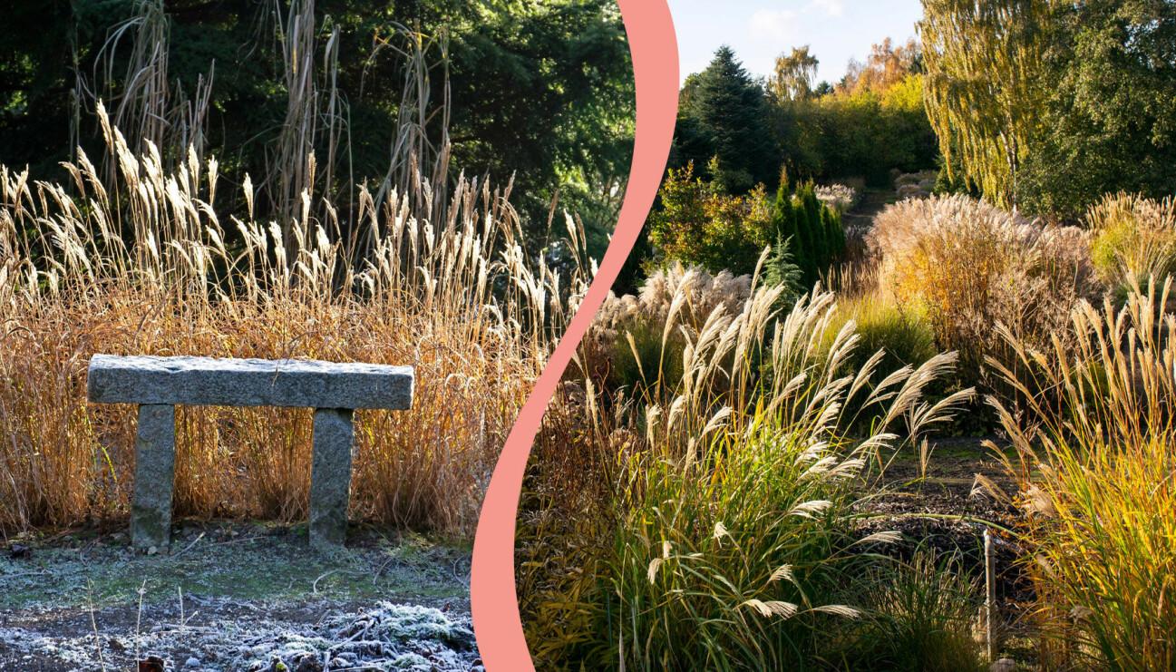 Två olika trädgårdar med prydnadsgräs. Till vänster: En trädgård med en stenbänk. Till höger: Vackert prydnadsgräs i vintersolen.