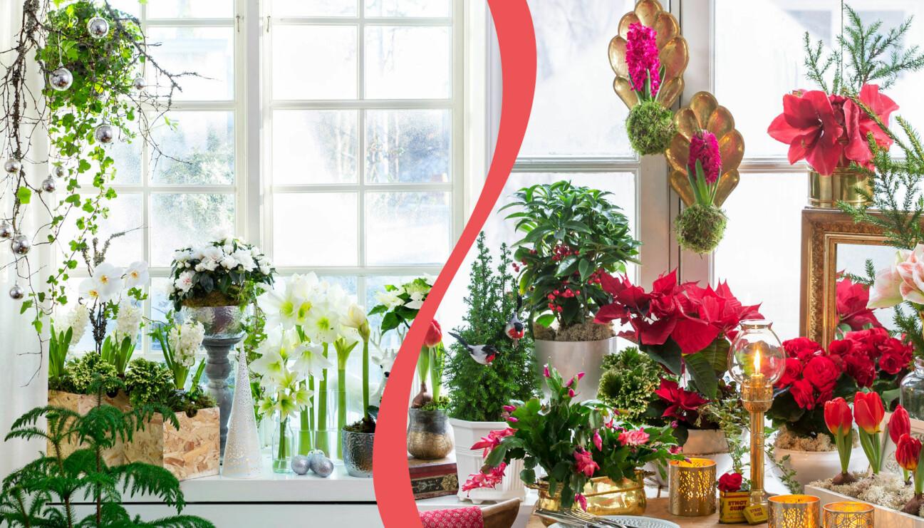 Två olika vackra fönster till jul. Till vänster: Modernt med vita blomsterarrangemang. Till höger: Klassiska röda julblommor i fönstret.