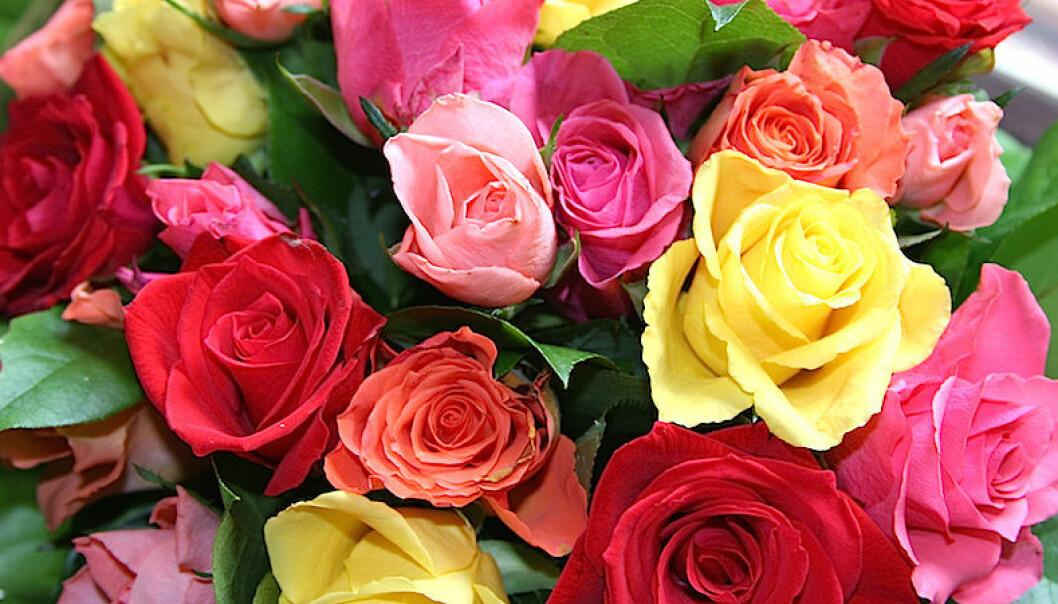 Vad betyder färgen på rosor?