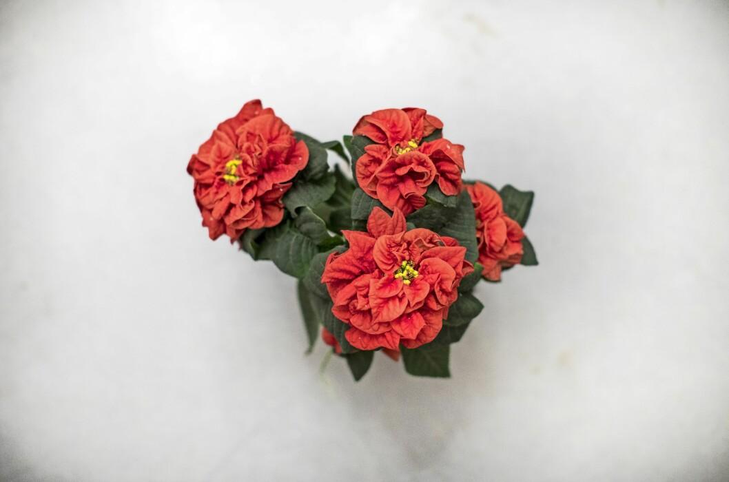 Julstjärnan 'Valentino' är en av Karl-Fredriks favoriter.