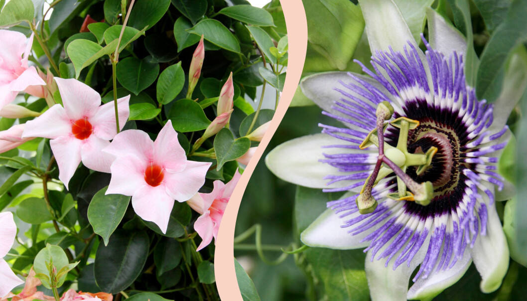 Delad bild på blommor som trivs i uterum. Till vänster: Bägarranka. Till höger: Passionsblomma.