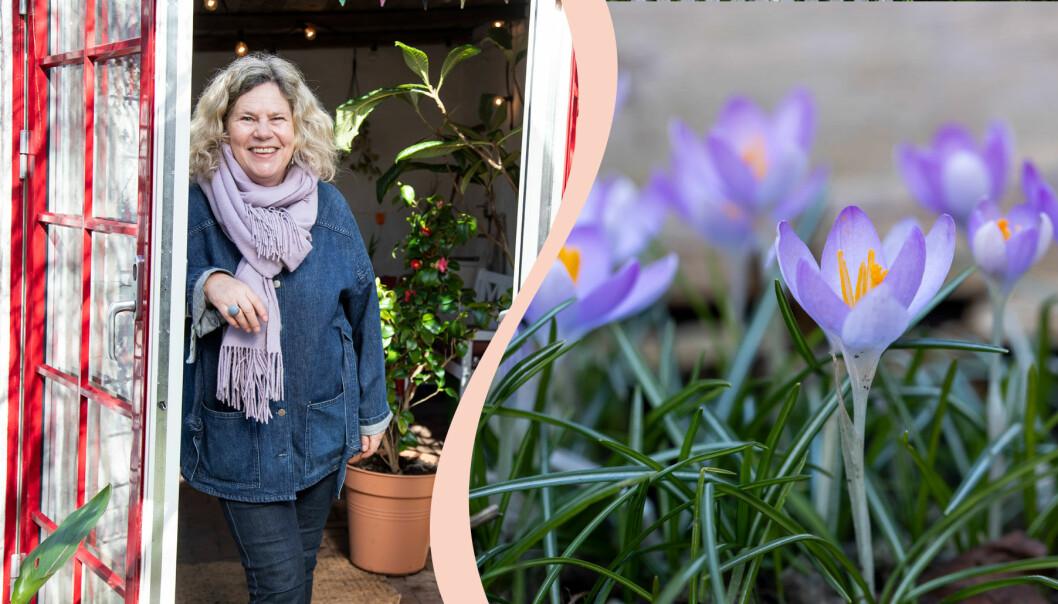 Gunnel Carlson i sitt orangeri och blommande krokusar i hennes vårträdgård.