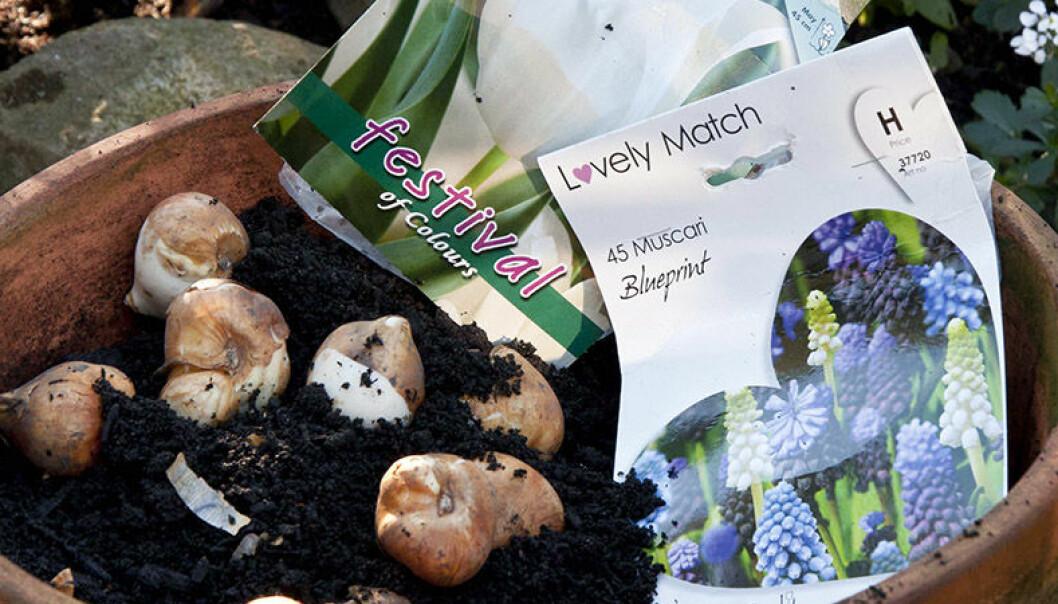 Vårlökar – främst tulpaner – på väg att planteras i kruka.