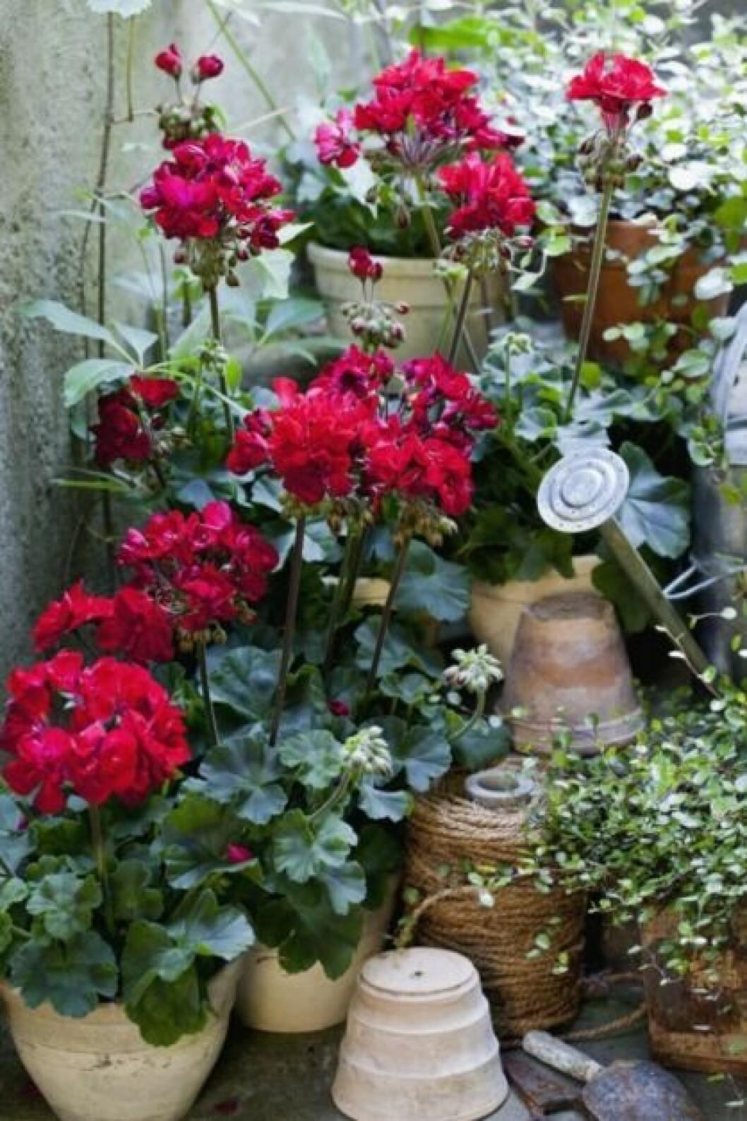 velvet red pelargon