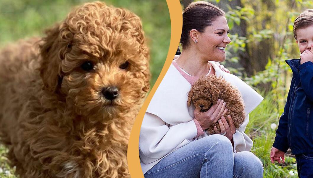 Victorias hund Rio på första kungliga uppdraget