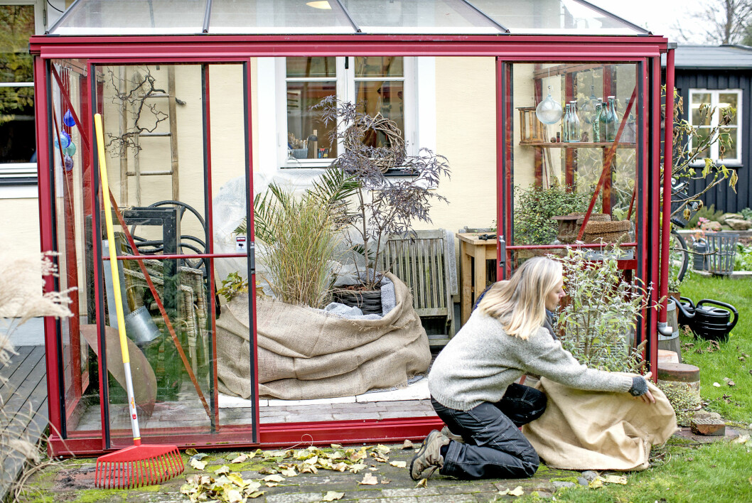 Ett växthus är en god hjälp i vinterförvaringen. Ställ krukorna tillsammans och vira in med bubbelplast, trasmattor, täcken, filtar eller vad du råkar ha. Här står de intill husväggen för att dra nytta av värmen från den.