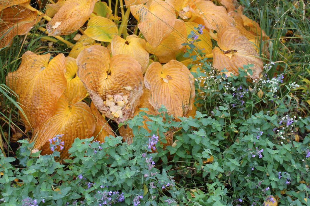 Vissnande funkia och blommande kantnepeta är en vacker höstkombination.