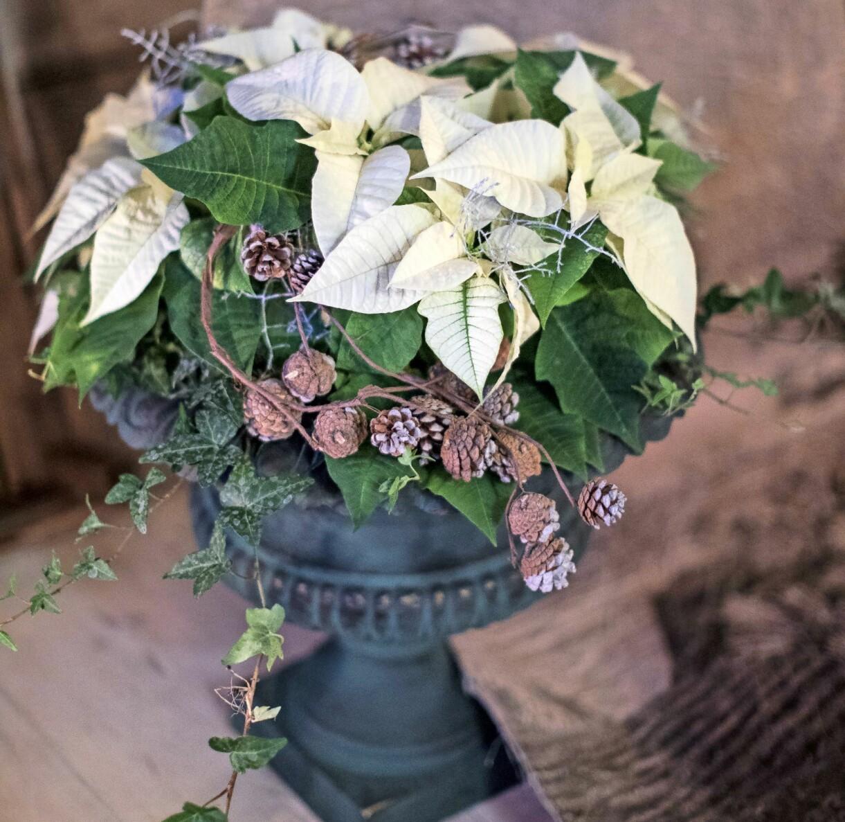 Vit julstjärna med kottar och murgröna i en svart kruka.