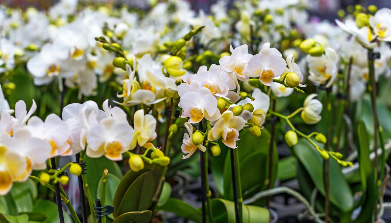 Vita orkidéer som blommar för fullt.